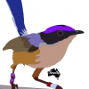 purple crowned fairy wren colour