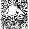 tigar face